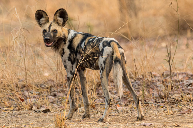 Wild dog looking backwards.