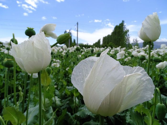 Field Of White Flowers Against Sky