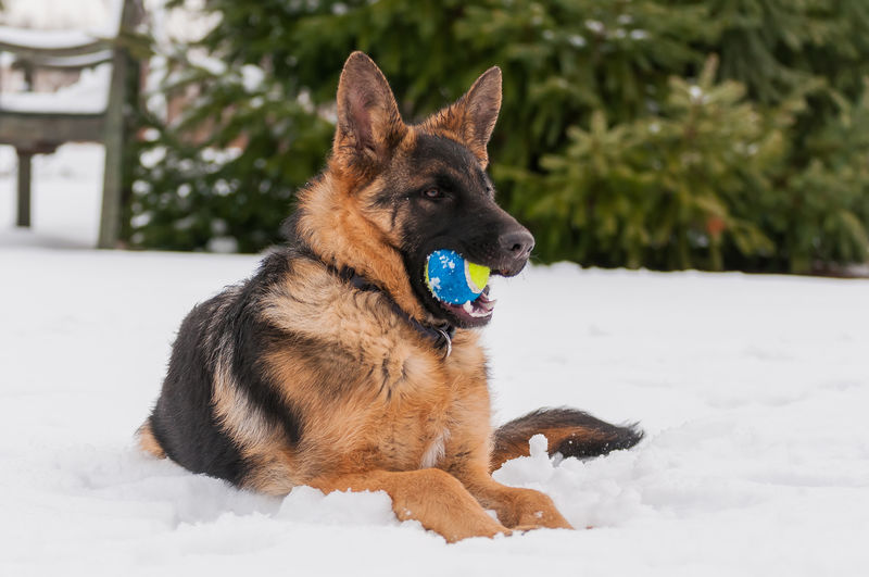 Dog carrying ball in mouth while sitting on snow covered land