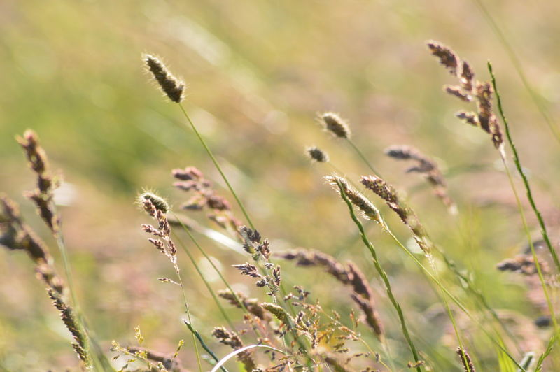 Grasses And Sun Beauty In Nature Beauty In Nature Day Field Focus On Foreground Grass Grasses In The Wind Growth Land Meadow Meadow Grasses Nature No People Outdoors Plant Selective Focus Sunlight Tranquility Wild Grasses