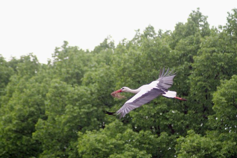 Low angle view of white stork flying against trees