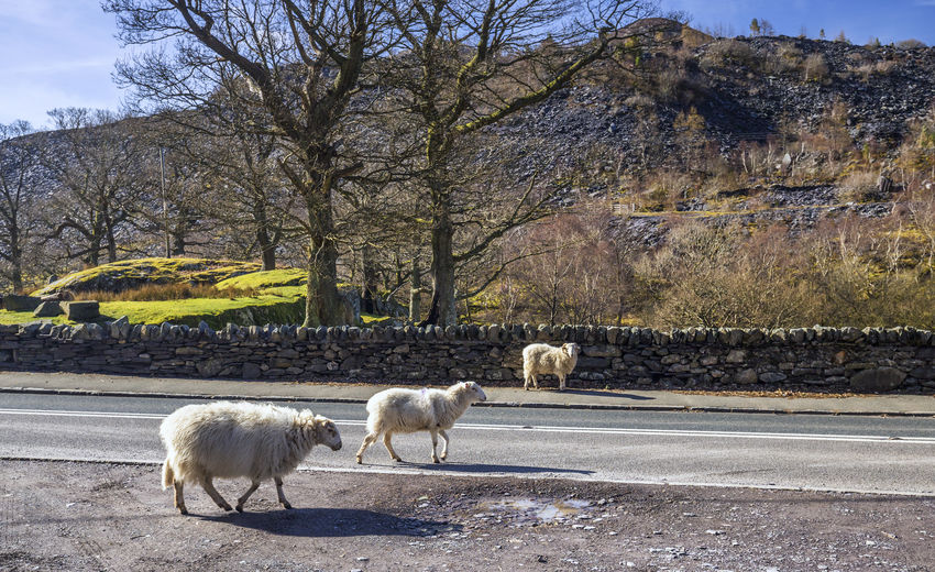 Sheep on Road in Wales Wales Animal Animal Themes Bare Tree Day Domestic Domestic Animals Field Group Of Animals Herbivorous Land Landscape Livestock Mammal Nature No People Outdoors Pets Plant Road Sheep Transportation Tree Vertebrate Wildlife