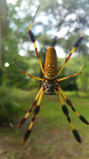 Banana Spider Trapped Full Length Animal Leg Survival
