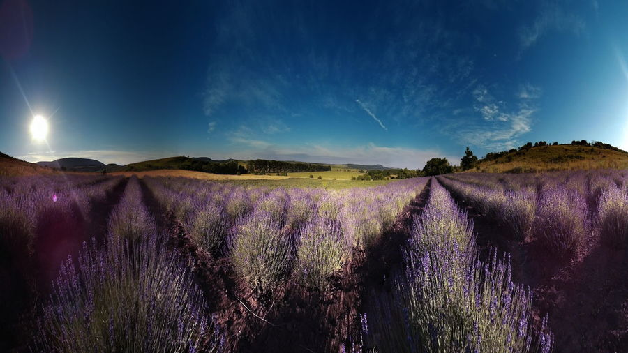 Lavender fields in the morning, panorama Panorama Agriculture Beauty In Nature Cloud - Sky Day Field Flower Freshness Growth Kesztölc Landscape Lavender Lilac Nature No People Outdoors Plant Purple Purple Flower Rural Scene Scenics Sky Tranquil Scene Tranquility
