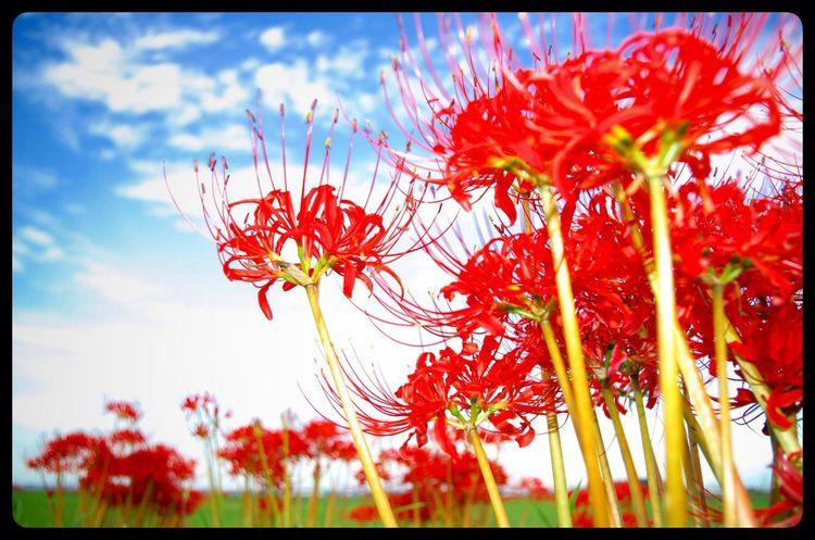 Flowers 彼岸花