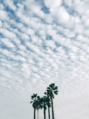 Beautifully Organized Low Angle View Sky Tree Cloud - Sky Nature Growth No People Beauty In Nature Day Outdoors Palm Tree Cloud Clouds Clouds And Sky Nature Eye4photography  מייסטריט Adapted To The City Minimalist Architecture The Street Photographer - 2017 EyeEm Awards The Great Outdoors - 2017 EyeEm Awards