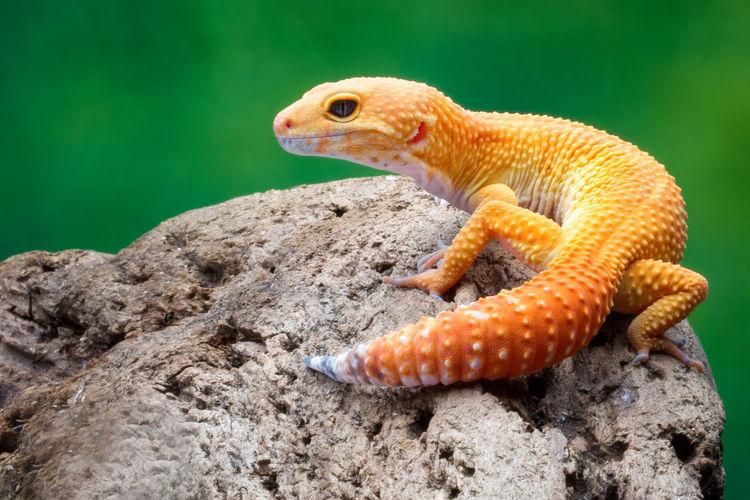gecko Reptile