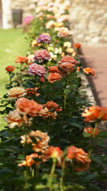 Colourful Roses on a bright and beautiful day! Check This Out EyeEm Nature Lover Rose Petals Taking Photos Creative Photography Best EyeEm Shot Striking Colors EyeEm Best Shots Details Of Nature Roses Historical Building Beauty In Nature England Depth Of Field No People Autumn Summertime