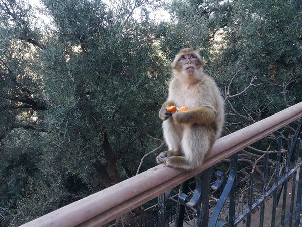 monkey in the park dell'ouzoud Animal Themes Animal Wildlife Animals In The Wild Day Low Angle View Macaco Macaque Mammal Monkey No People One Animal Outdoors Ouzoud Primate Tree