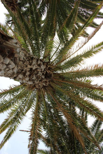 Palm Tree, Holidays, Summer, Hot, Day, Warm,canary island, lanzarote, green, sky, blue sky Low Angle View Nature Tree Green Color Beauty In Nature No People Outdoors
