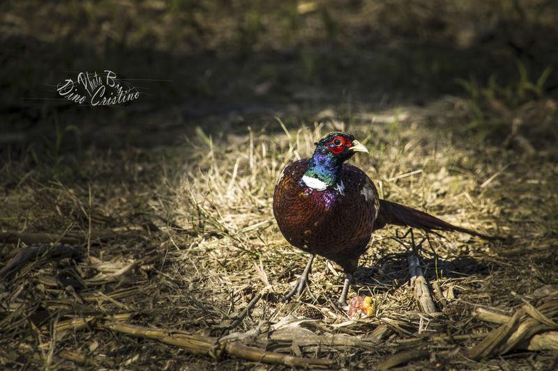 Aviofauna Bird Bird Photography Birds Birdwatching Cacciafotografica Colors Dino Cristino Fauna Moments Natura Ucceli