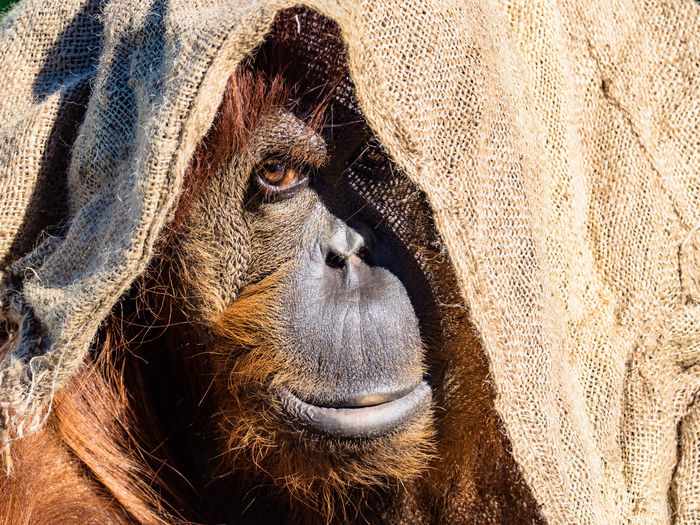 Ape Animal Themes Close-up Day Mammal Nature No People One Animal Orangutan Outdoors Portrait