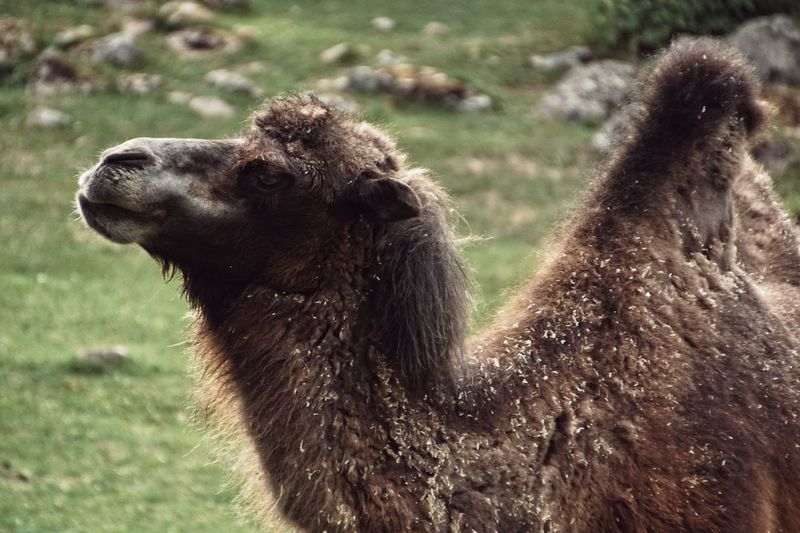 Plz follow on Facebook https://www.facebook.com/niklasstormfoto/ Zoo Niklas Storm Augusti 2018 Camel Field Tree Close-up Grass Animals In Captivity Captivity