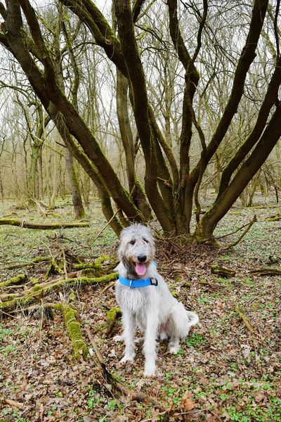 Dog One Animal Tree Outdoors Tree Forest Deep In The Woods Beauty In Nature Cearnaigh Irish Wolfhound Dogslife Dogs Of EyeEm Green Color Dogs Of Winter Dog Of The Day Dogwalk Animal Themes