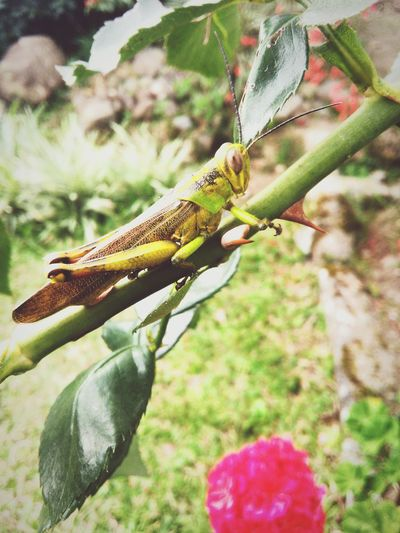 Grasshopper above the rose bough.. Nature Animal Photography Vscocam Vscomoments