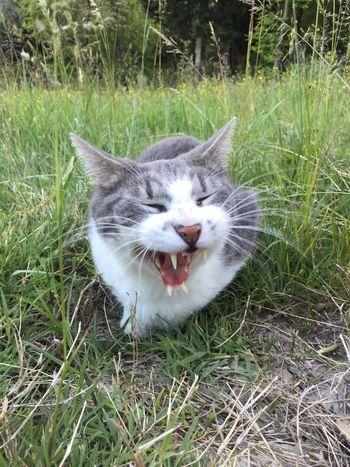 Ciccio Cats Gattone Gatto Sbadiglio The Great Outdoors - 2017 EyeEm Awards