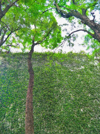 green zone Tree