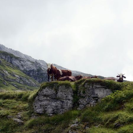 Cows Haute-Savoie  Alpes Alpen Alps Animals Cow Pasture Square Format Lovers