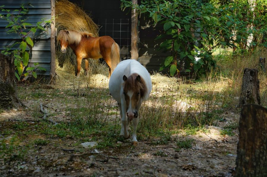 Domestic Animals Animal Themes Outdoors Nature Naturephotography Beauty In Nature Nature Beauty Nature's Diversities EyeEm Best Shots - Nature Naturelovers Nature Collection Nature Photography Nature_perfection Horse Photography  Miniature Horse Photography Themes EyeEmBestPics Horse ForTheLoveOfPhotography EyeEm Gallery EyeEmBestEdits EyeEm Best Edits Eye4photography  EyeEm Best Shots Eye For Photography