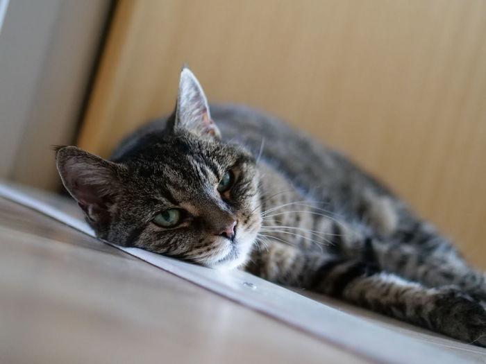 Close-up portrait of a cat resting