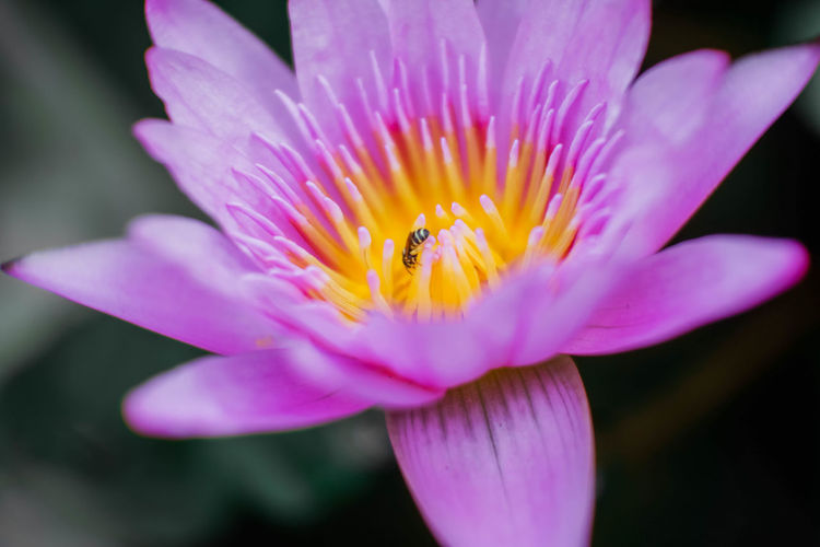 Inflorescence Pink Color Pollen Insect Animal Themes Flower Head Fragility Animal Invertebrate Nature Petal Vulnerability  Growth Beauty In Nature Freshness Flowering Plant Flower Pollination Plant No People Purple EyeEm Best Shots EyeEm Nature Lover Lotus Water Lily Lotus