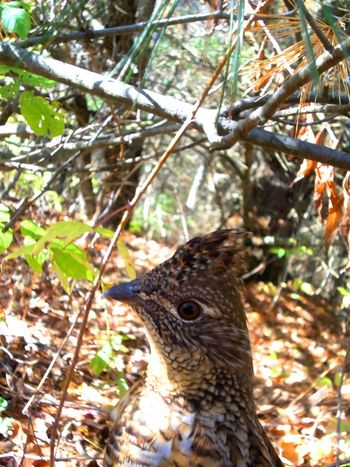Animal Themes Animal Wildlife Animals In The Wild Beauty In Nature Bird Branch Close-up Day Focus On Foreground Grouse Nature No People One Animal Outdoors Partridge Perching Sunlight Tree