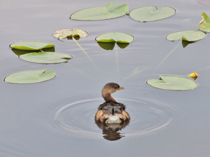 Grebe Bird Swimming Decisions Decisions ... Decisions Lily Pads Choices Puzzling