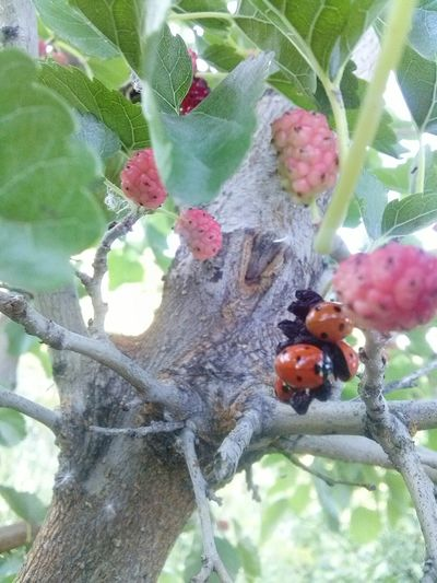 Everything is interconnected in Nature. EyeEm Nature Lover Beauty In Small Things Nature Photography Nature_collection Mulberry Tree Mulberry Tree Beauty In Nature Ladybug