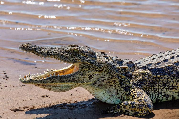 Crocodile at nile riverbank during sunny day