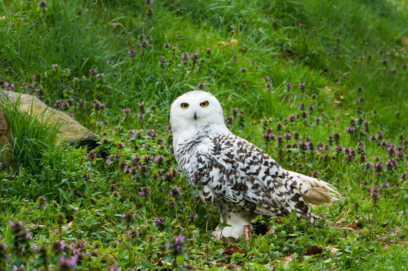 Bubo Virginianus EyeEm Nature Lover Animal Themes Animal Wildlife Animals In The Wild Arctic Owl Bird Bird Of Prey Bubo Scandiacus Close-up Day Grass Great White Owl Green Color Nature No People One Animal Outdoors Owl Schneeeule Snow Owl