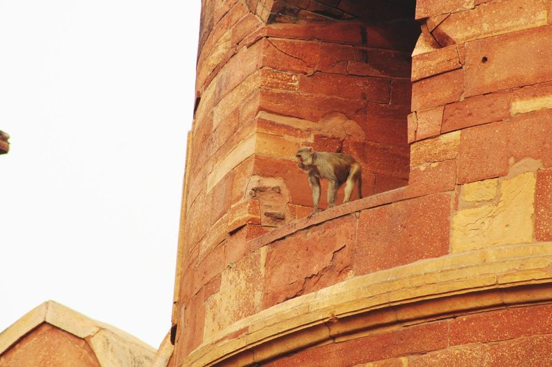 Macaque at the Red Fort in Agra One Animal Built Structure Architecture Low Angle View History The Past No People Building Exterior Wall - Building Feature