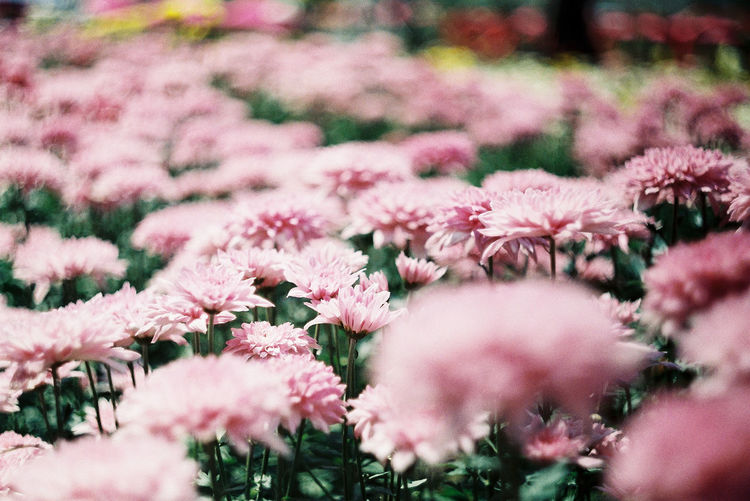 Close-up of pink  mums