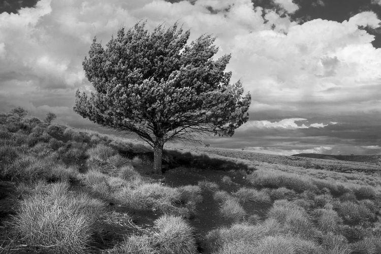 Pine Trees Lone