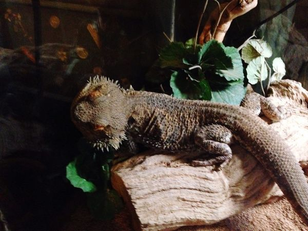 Lizard Bearded Dragon Pets Creatures Photography Lazy Sleeping