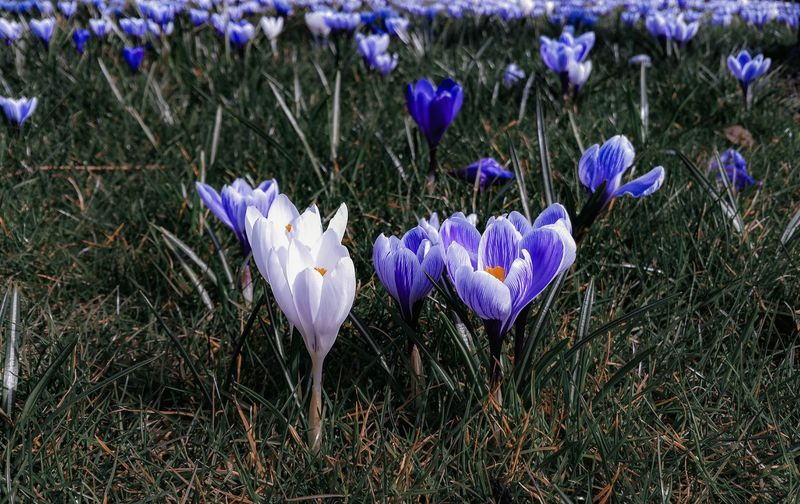 blossoms of the spring Crocuses Lawn Purple Violet Flowers Sunlit Newtown Powys крокусы Springblossoms Flower Head Crocus Flower Petal Purple Close-up Blooming Grass Plant In Bloom Wildflower Plant Life Botany Stem Blossom Bud Focus Stamen Pollen