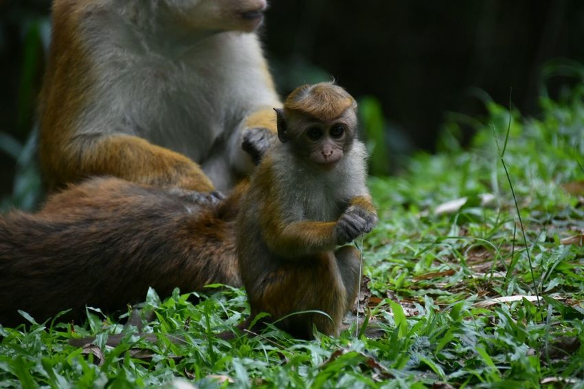 Monkey Animal Themes Young Animal Animal Wildlife Animal Family Nature Animals In The Wild Primate Outdoors Domestic Animals Togetherness Beauty In Nature Kandy Sri Lanka Botanical Garden Nikon D7200 SIGMA18_300mm Canoma Photography Ape Affe Close-up Animals In The Wild Nature EyeEm Masterclass