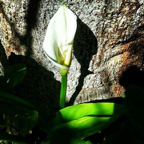 Flores Naturaleza Calas Flowers,Plants & Garden