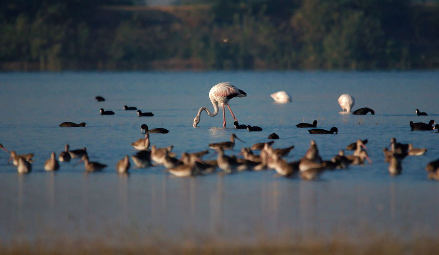 flamingos bird and other groups of migratory birds searching food in shallow lake water in winter morning Beauty In Nature Birds India Nature India Migratory Birds Nature Wildlife Wild India Asian  Wildlife & Nature Animals In The Wild Large Group Of Animals Lake Water Flamingo Birds Of India Winter Birds Birds In Lake Shallow Water Blue Water Colors Morning Light Winter Morning Cool Atmosphere Winter