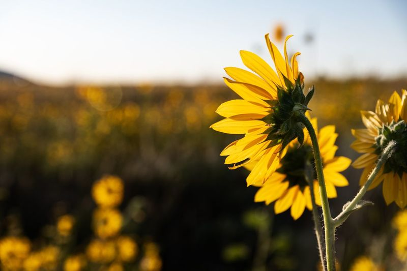Sunflowers EyeEm Selects Flower Flowering Plant Yellow Fragility Vulnerability  Plant Freshness Growth Petal Beauty In Nature Close-up No People Nature Sky Inflorescence Plant Stem Focus On Foreground Flower Head Day Field