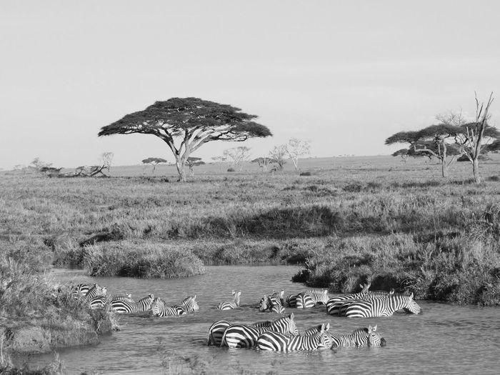 Beautiful Serengeti Eye Em Travel Eye Em Around The World Beauty In Nature Zebra Water No People Landscape Animal Wildlife Group Of Animals Land My Best Travel Photo