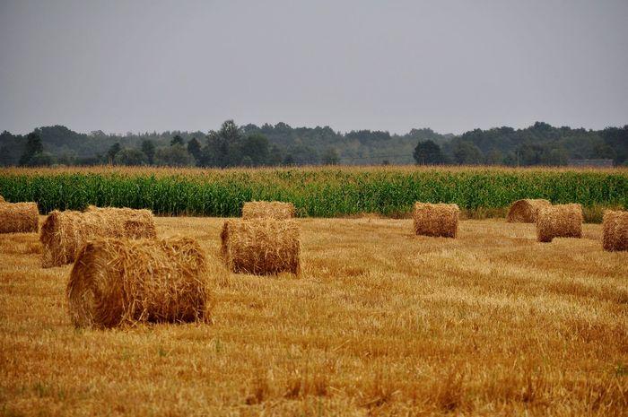 Agriculture Field Rural Scene Landscape Beauty In Nature Outdoors Harvest Season Harvest Time EyeEm Selects Summer Eyeem Market Eye4photography  EyeEm Best Shots