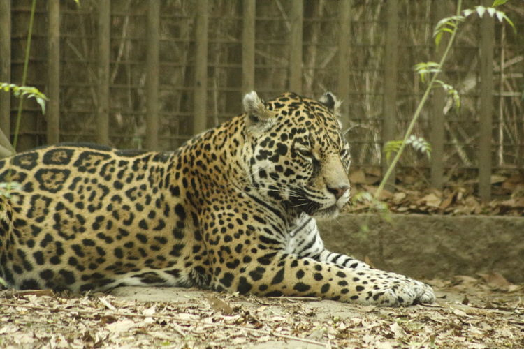 Side View Of A Relaxed Leopard