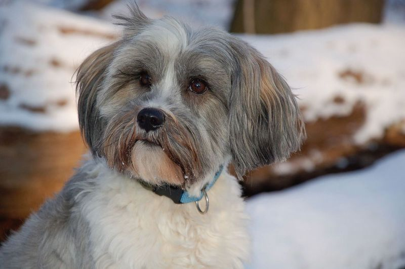 EyeEm Selects Dog Pets One Animal Animal Themes Domestic Animals Mammal Focus On Foreground No People Close-up Outdoors Day Snow Nature Portrait Tibetan  Terrier Tibetanterrier Cute Pets