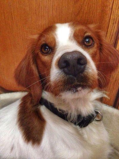 Oscar Epagneul Breton Dogs Love Cute Pets