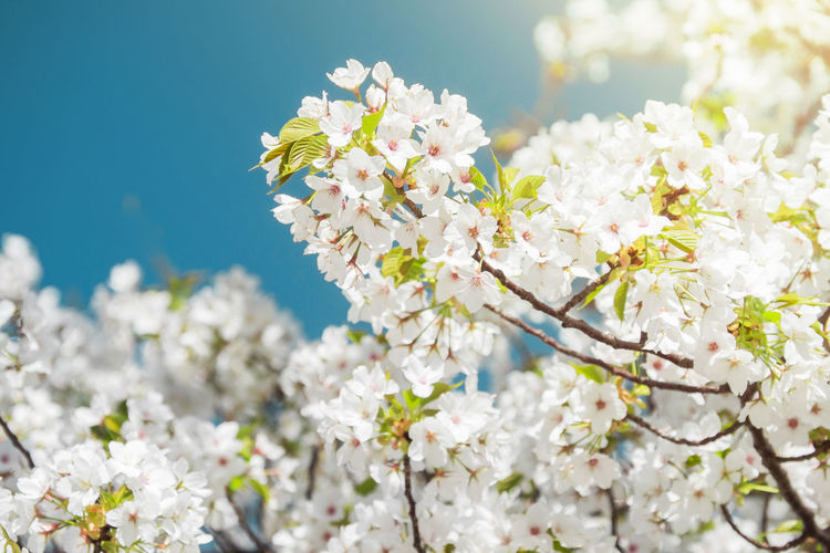 White Cherry Blossoms are Blooming in Spring, Japanese Sakura Flower Cherry Blossoms Japan Japanese  Apple Blossom Beauty In Nature Blooming Blossom Botany Branch Close-up Day Flower Fragility Freshness Nature No People Outdoors Petal Springtime Tree White Color