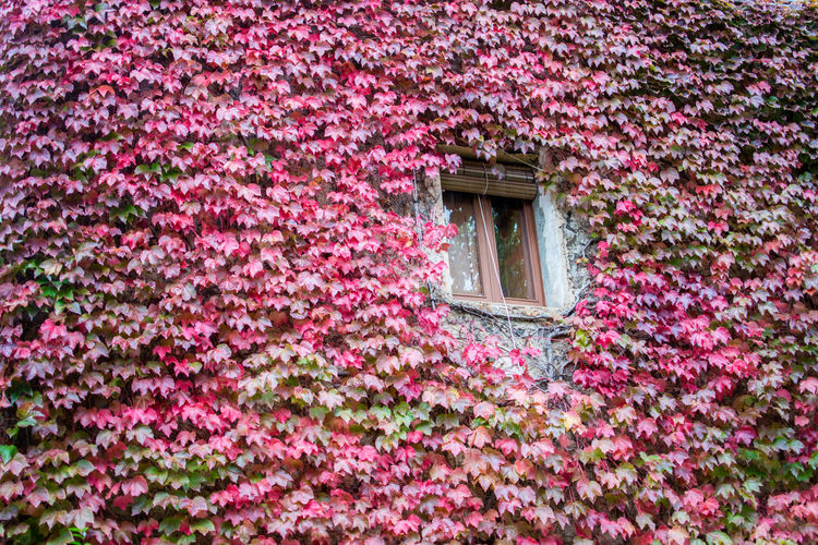 You are surrounded Flowering Plant Flower Growth Plant Pink Color Built Structure Freshness Fragility Nature Vulnerability  Beauty In Nature Architecture Day No People Ivy Outdoors Building Exterior Window Building Petal Flowerbed Autumn Autumn colors Autumn Leaves Autumn Mood
