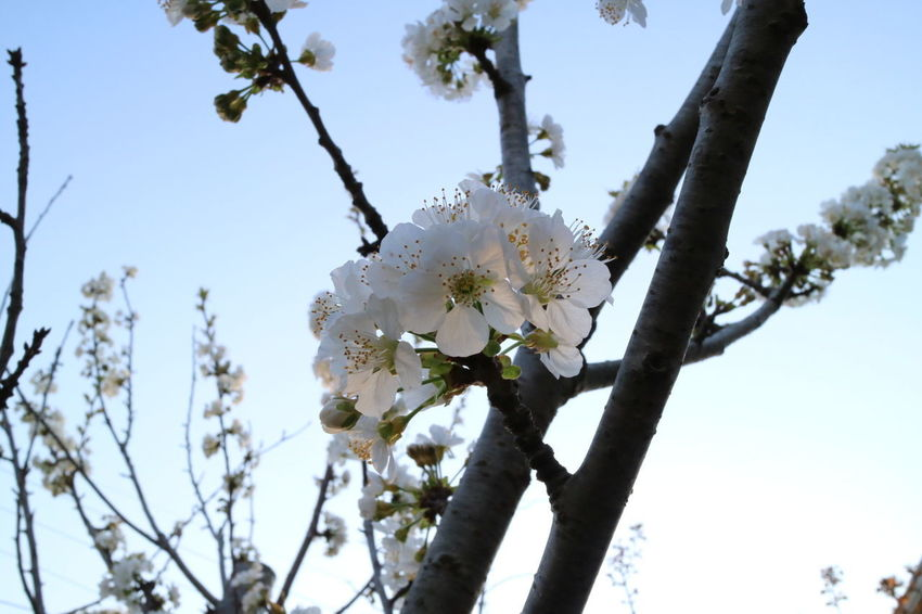 Flower Tree Blossom Nature No People Outdoors Freshness Beauty In Nature Japan Fleur Plant 桜 Fragility White Color Beauty Tree Branch Springtime Flower Head White Low Angle View Sakura