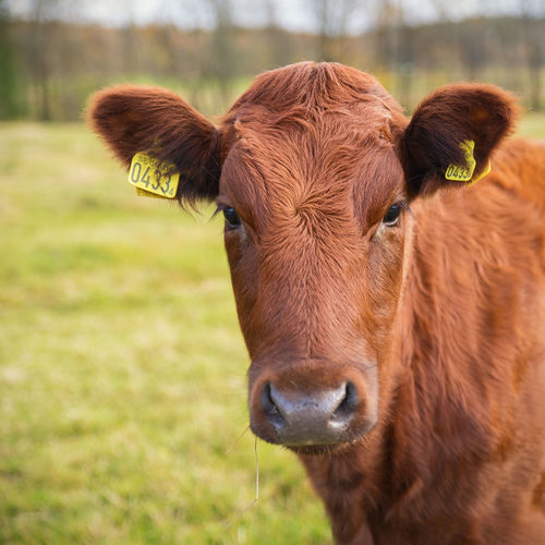 Brown Calf Animal Animal Themes Animals Brown Brown Cow Calf Cattle Country Cow Curious Farm Farm Life Field Grass Moo Nature One Animal Portrait