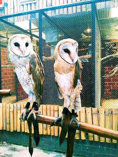 Owlie 💞 Animal Themes Owl Portrait. Owl Owl Photography OWL Shoot Owl Eyes Cute Animals INDONESIA Indonesian Street (Mobile) Photographie Indonesia_photography Indonesiaindah
