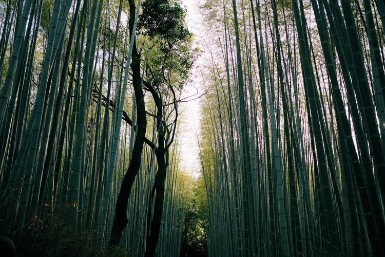 Bamboo Bamboo - Plant Bamboo Grove Beauty In Nature Day Forest Growth Land Nature No People Non-urban Scene Outdoors Plant Scenics - Nature Tranquil Scene Tranquility Tree Tree Trunk Treelined Trunk WoodLand